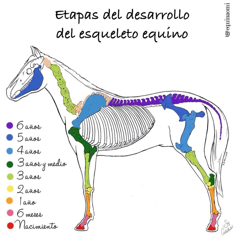 Etapas del desarrollo del esqueleto equino